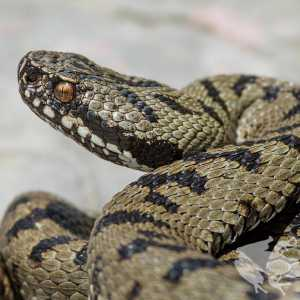 Vipera berus