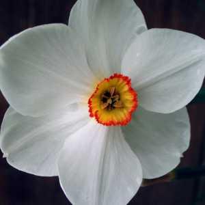 Narcis_dik