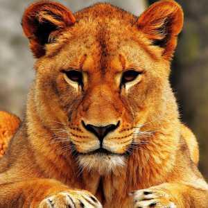 Löwen18